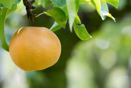 Asian pear tree with fruit growing in the garden Stock Photo