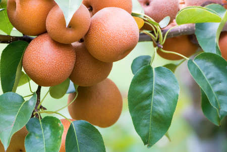 Asian pear tree with fruits growing in the garden Stock Photo