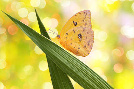Yellow butterfly (Orange-barred Sulphur) on green grass photo