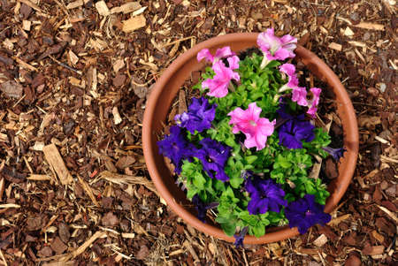 mulch: Landscaping combinations of mulch and purple plant Stock Photo