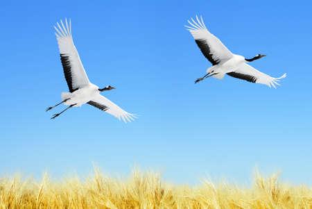genera: Two Japanese Cranes in flight against blue sky