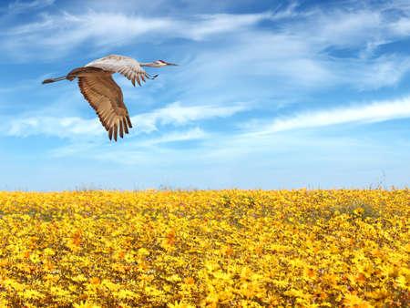 genera: Sandhill Crane in flight above yellow field