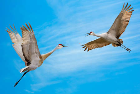genera: Two Sandhill Cranes Flying Against Blue Sky Stock Photo