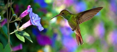 Hummingbird (archilochus colubris) em vôo com flores tropicais no fundo colorido
