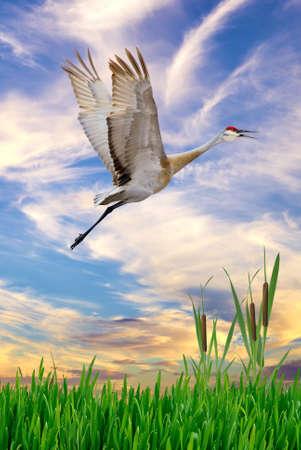 genera: Sandhill Crane in flight above swamp, vertical image