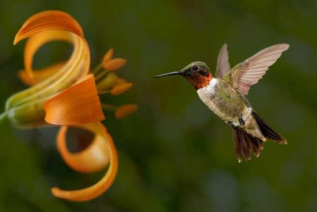 hummingbird: Hummingbird (archilochus colubris) in flight with tropical flowers on green background