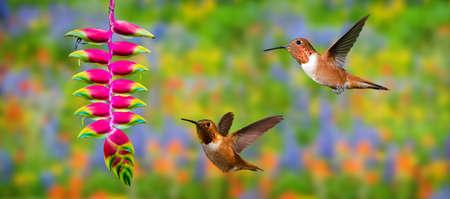 Hummingbirds (archilochus colubris) in flight with tropical flower