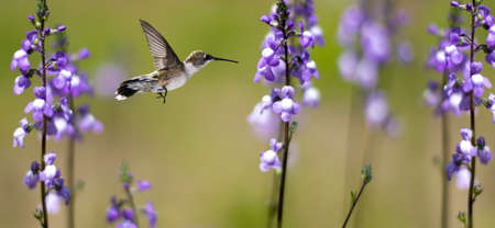 Hummingbird (archilochus colubris) in flight with tropical flowes