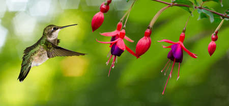 Hummingbird (archilochus colubris) in flight with tropical flower Stockfoto
