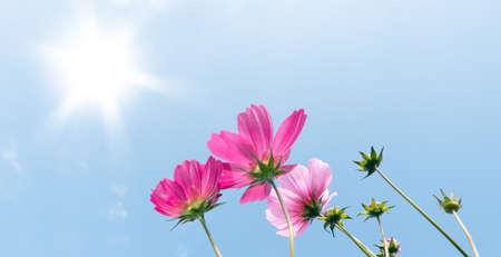 flores moradas: Pink flowers on blue sky background panoramic image