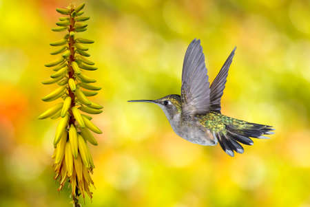 hovering: Hummingbird (archilochus colubris) in flight with tropical flower over yellow background