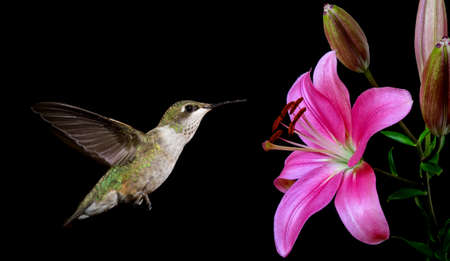 bird flying: Hummingbird (archilochus colubris) in flight with tropical flower over black background