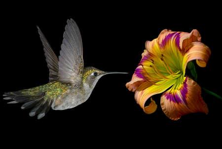 hummingbird: Hummingbird (archilochus colubris) in flight with tropical flower over black background