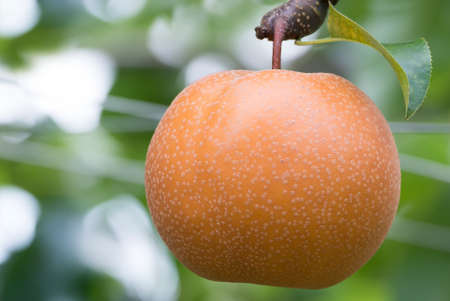 asian pear: Japanese pear tree with fruit growing in the garden
