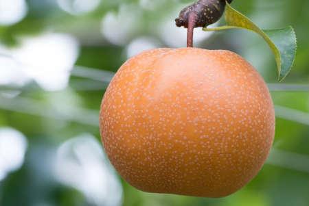 arboles frutales: peral japon�s con la fruticultura en el jard�n Foto de archivo
