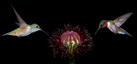 hover: Hummingbirds hover over a fully bloomed flower in search of pollen and nectar