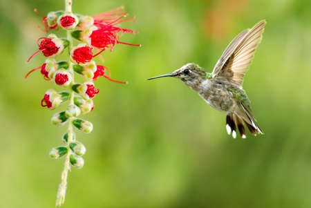 hovering: Hummingbird (archilochus colubris) in flight with tropical flower over green background