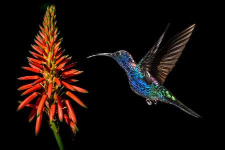 hummingbird: Rufous Hummingbird female over black background