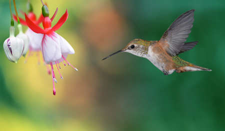 hovering: Hummingbird (archilochus colubris) in flight with tropical flowers on colorful background