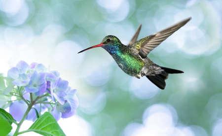 flying float: Ruby-throated hummingbird in the garden
