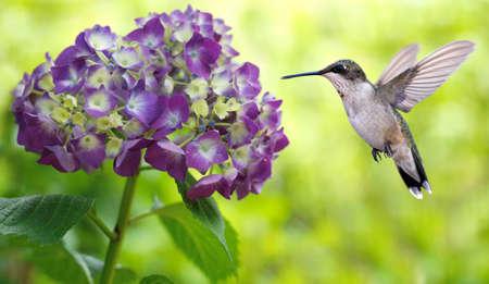 hummingbird: Hummingbird (archilochus colubris) and Hydrangea Macrophylla Hamburgpa panoramic view