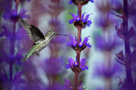 Hummingbird (archilochus colubris) over purple summer background