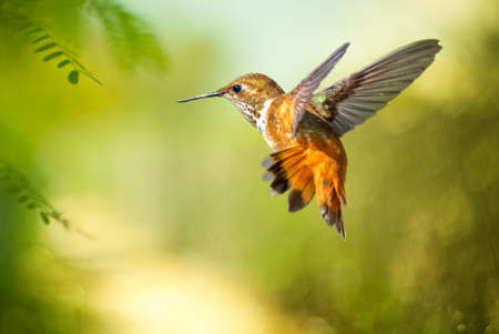 Rufous Hummingbird over blurred summer background