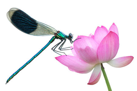 insect: Water lily flower with dragonfly isolated on white background Stock Photo