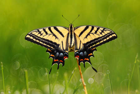 green butterfly: Swallowtail butterfly over fresh green grass natural background Stock Photo