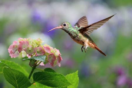 hovering: Ruby-throated hummingbird (archilochus colubris) hovering on Hydrangea