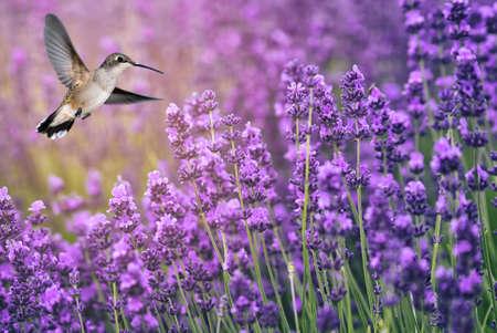 Hummingbird feeding from lavender flowers