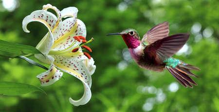 flor de lis: Colubris (archilochus) flotando junto a flores de lis vista panor�mica