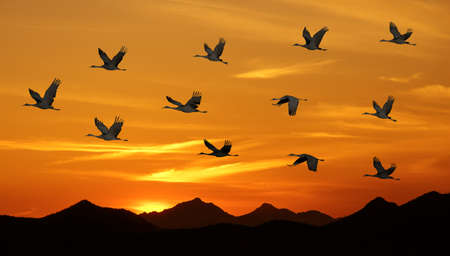 flying geese: Sandhill cranes at sunrise or sunset autumn concept