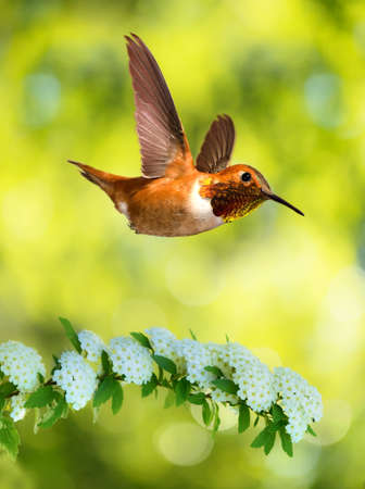 bluer: Rufous Hummingbird flying against yellow bluer background vertical image