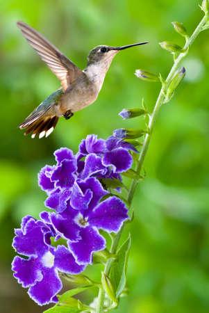 petites fleurs: Hummingbird (Archilochus colubris) planant à côté d'une image verticale de jolies fleurs violettes