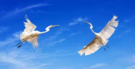 bird flying: Beautiful tropical cranes in flight against blue sky