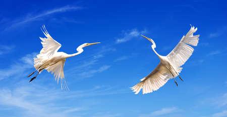 Beautiful tropical cranes in flight against blue sky