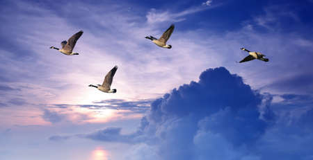flying geese: Geese flying against purple sky background Stock Photo