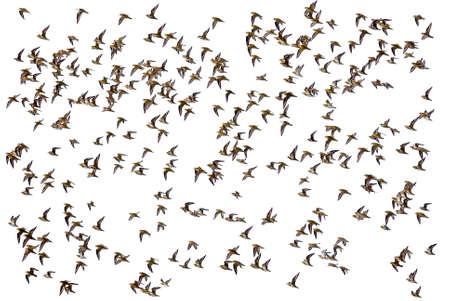 air animals: Flock of birds on white background
