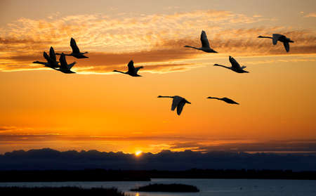 flying geese: Birds at sunrise or sunset autumn concept