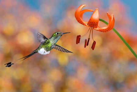 tiger lily: Hummingbird booted racket-tail feeding nectar from tiger lily