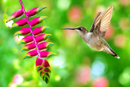 Hummingbird in flight with tropical flower over green background