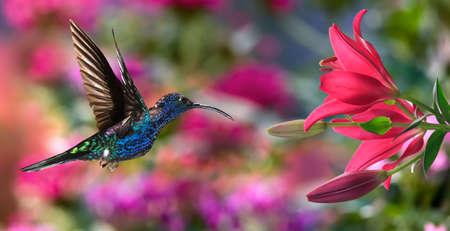 Hummingbird (archilochus colubris) in flight with lily flowers