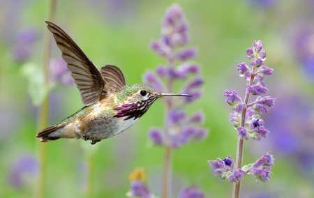 Annas Hummingbird hovering next to pretty purple lavender flowers