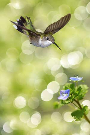 pluma: Imagen vertical de peque�o colibr� que asoma y la alimentaci�n de la flor azul sobre fondo verde borrosa Foto de archivo