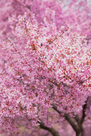 vertical image: Cherry blossom in full bloom vertical image Stock Photo