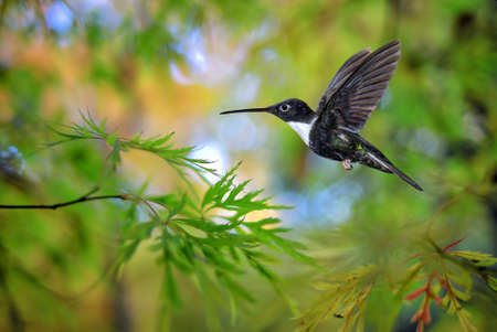 tropical plants: Hummingbird over blurred green tropical plants in background