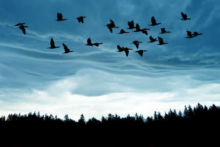 bird flying: Spring or autumn migration of cranes Stock Photo