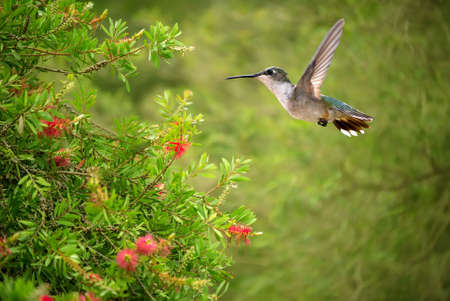rare animals: Hummingbird (Calypte anna) in flight at a flower with a green background Stock Photo