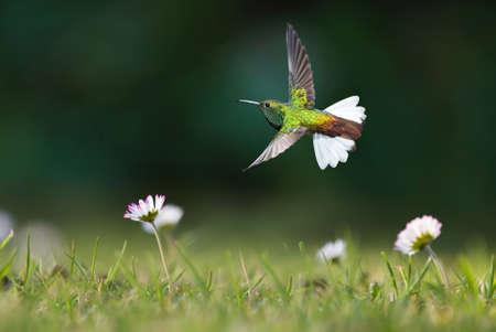 hovering: Hummingbird hovering over dark background